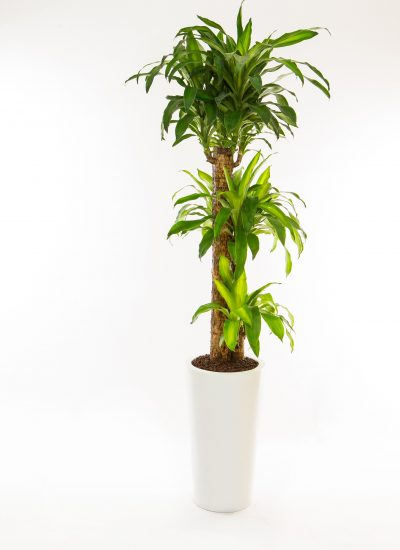 dracaena fragrans (iron tree)