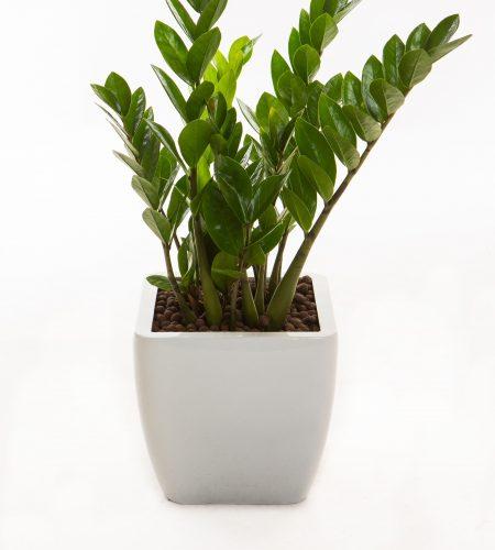 Zamioculcas zamifolia