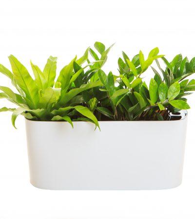 Asplenium nidus mix Zamioculcas zamiifolia
