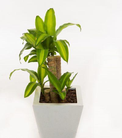 Dracaena fragrans (Iron tree)